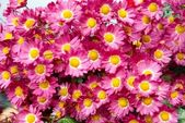 Field of dark pink chrysanthemums. — Stock Photo
