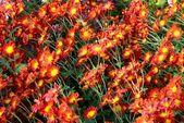 Campo de crisantemos rojos-amarillos y naranjas. — Foto de Stock