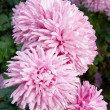 Pink chrysanthemums. — Stock Photo