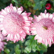 Sweet pink chrysanthemums. — Stockfoto