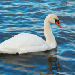 White swan. — Stock Photo