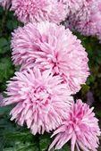 Pink chrysanthemums. — Stock Photo
