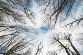 Top of winter trees with blue sky and clouds. — Stock Photo