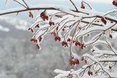 冰层覆盖红臀部 — 图库照片