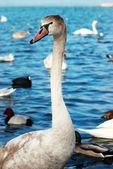 White swan. — Стоковое фото