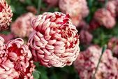 Dark red chrysanthemums. — Stock Photo