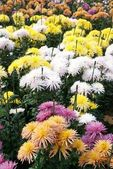 Field of different colors chrysanthemums. — 图库照片