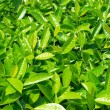 Green leaves — Stock Photo #5842237