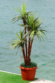 Green palm in the pot. — Stock Photo