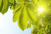 зеленые листья каштан. — Стоковое фото