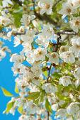 白桜の花 — ストック写真