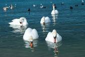 Zwanen op het meer — Stockfoto
