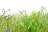 Green grass with blue flowers — Stock Photo