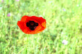 Beautiful red poppy — Stock Photo