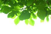Yeşil incir ağacı yaprakları ile şube — Stok fotoğraf