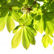 Green leaves of chestnut. - Stockfoto