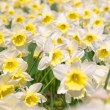 White narcissuses — Stock Photo