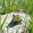 Green frog — Stock Photo