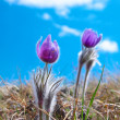Flower Pasqueflower (Pulsatilla patens) — Stock Photo