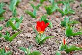 Röd tulpan — Stockfoto