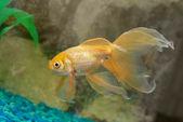 Tropikal altın balık — Stok fotoğraf