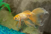 Tropiska gyllene fisk — Stockfoto