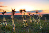 Sunset with deflorated flowers — Stock Photo