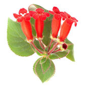 Red flowers (Kohleria Rongo) — Stock Photo