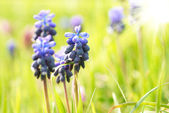 Hyacinthes with green grass — Stock Photo
