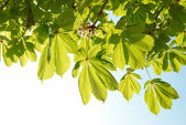 Green leaves of chestnut. — Stock Photo