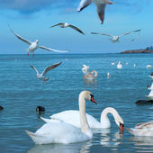 Swans on the lake — Stock Photo