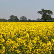 Field of yellow — Stock Photo