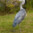 Heron on lawn - Stock Photo