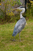 Heron on lawn — Stock Photo