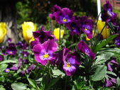 Purple tricolor violas — Stock fotografie