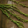 Stock Photo: Green creeper plant on old wall