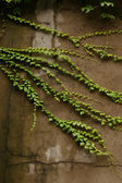 The Green creeper plant on a old wall — Stockfoto