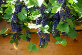Closeup of bunch of red grape in the vinyard — Stock Photo