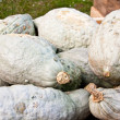 Squash Blue Hubbard — Stock Photo