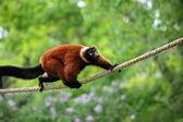 Red lemur vari — Stock Photo
