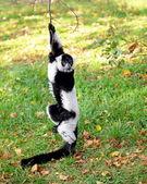 Lemur vari — Stock Photo