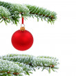 Christmas evergreen spruce tree and red glass ball — 图库照片