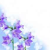 Beautiful bluebells — Stock Photo