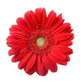 Red gerbera — Stock Photo