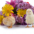 Chickens — Stockfoto
