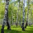 Summer birch forest landscape — Stock Photo #5802137
