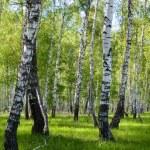 Summer birch forest landscape — Stock Photo