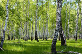 Summer birch forest landscape — Stock Photo