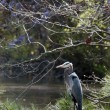 Stock Photo: Blue Heron