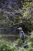 Blue Heron — Stock Photo
